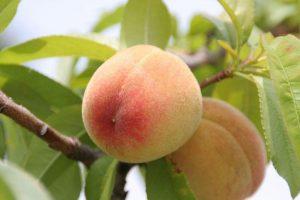 Персик киевский ранний